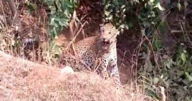 Trapped leopard dies in Giridih
