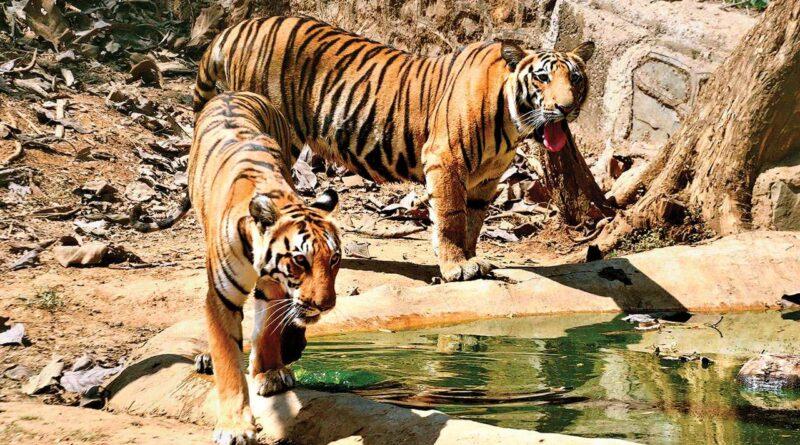 International Tiger Day: पढ़िए 'पेंच की रानी' की रोचक कहानी, जिसने इतने बच्चे पैदा किए कि बन गया वर्ल्ड रिकॉर्ड