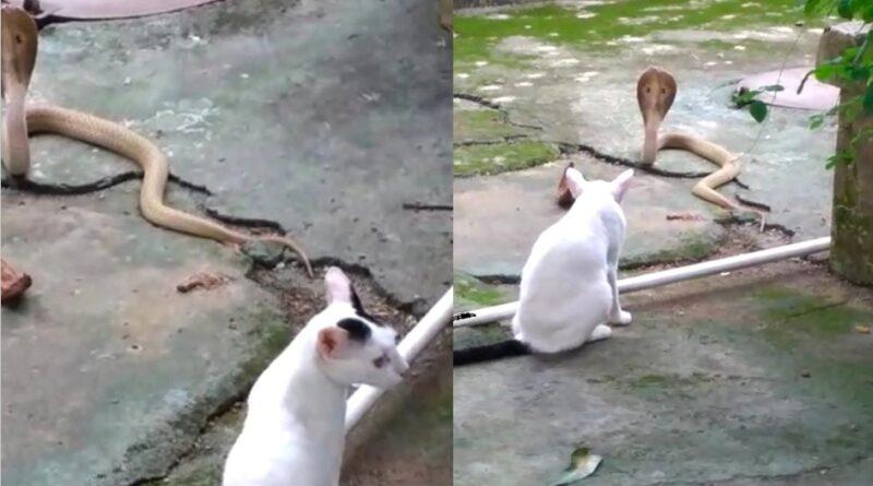 Viral Video: मालिक की जान बचाने के लिए कोबरा से भिड़ी पालतू बिल्ली, 2 घंटे तक चली फाइट