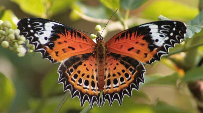 भारत की 35 तितली प्रजातियों पर अस्तित्व का संकट
